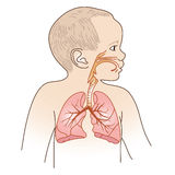 Child Respiratory Scheme. Vector Illustration of a Child Respiratory System Organs Royalty Free Stock Images