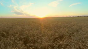 Child runs on a wheat field to the sunset. Slow motion stock video footage