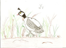 Child's Drawing of a Quail. With colored pencil making a nice bird picture Stock Image
