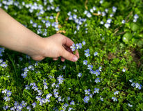 Child's hand collects flowers Royalty Free Stock Photography
