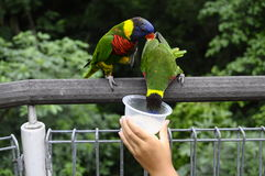 Child's hand feeding some colored lovebirds Stock Image