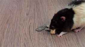 Child`s hand gives the rat some cheese. Black and white funny rat sits on coins. US stock video footage