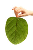 Child's hand holding a big green leaf isolated on white. Child's hand holding a big textured green leaf with water drops isolated on white Royalty Free Stock Image