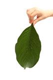 Child's hand holding a big green leaf isolated on white. Child's hand holding a big textured green leaf with water drops isolated on white Stock Image