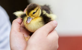 Child's Hand Holding Duckling Royalty Free Stock Photography
