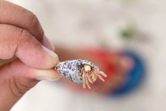 A child`s hand holding a shell with a hermit crab peeping out Stock Photo
