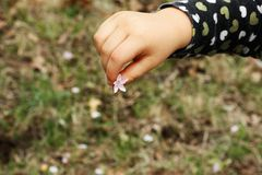 Child`s Hand Holding Small Spring Flower. Close-up of a young child`s hand holding a tiny white spring flower royalty free stock image