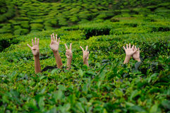 A child's hand holding a tea leaf Royalty Free Stock Photography