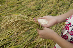Child`s hand holds rice ears stock photo