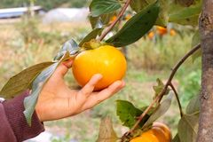 Childs hand picking persimmon from a tree. Childs had picking a ripe persimmon from a tree on a farm Stock Photo