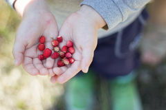 Child's hands with berries. Wild strawberry on child hand Royalty Free Stock Image