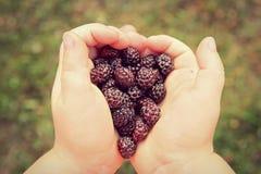 Child's Hands Holding Fresh Picked Black Cap Raspberries Stock Photography
