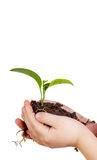Child's hands holding green plant in soil isolated Royalty Free Stock Images