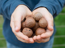 Child's hands holding macadamia nuts Stock Images
