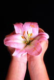 Child's hands holding pink lily flower Royalty Free Stock Photo
