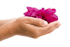 Child's hands holding red flower Royalty Free Stock Photography