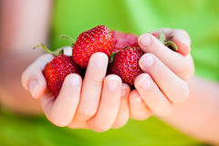 Child's hands holding strawberries. A child's hands holding fresh picked organic strawberries Royalty Free Stock Image