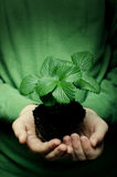 Child's hands holding strawberry baby plant Stock Photography
