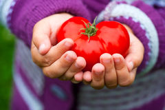 Child`s hands holding a tomato. Stock Photos