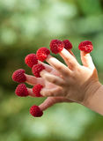 Child's hands with raspberries Stock Photos