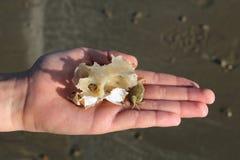 Child& x27; s ręka pokazuje kraba, skorupa i rybia kość, zakładamy na plaży podczas gdy plażowy czesanie Zdjęcie Royalty Free