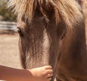 A gentle touch. A Caucasian childs hand reaches out to touch a brown pony for the first time as the gentle pony stands quietly Stock Photography