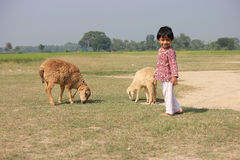 Child and sheep is in the filed. Stock Images