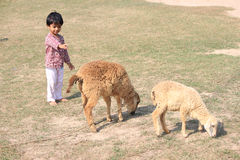 Child and sheep is in the filed. Stock Photos