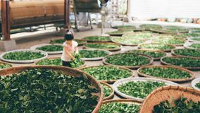 Child sorting greens in baskets Stock Image