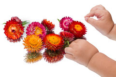 Child and strawflower Stock Image