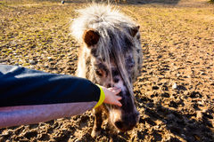 Child stroking a pony. Pony in the paddock. Mini Zoo Castolovice. Sheltland pony. Mini Zoo Castolovice. Sheltland pony Stock Photography