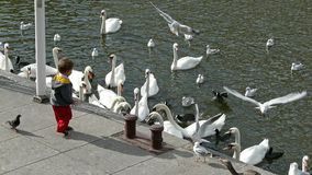Child and swans at the Kleine Alster in Hamburg, Germany Stock Photography
