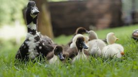 Child takes a duckling in hands. Close up of ducklings group and Mother mallard Duck on a green grass in a park. Mother mallard Duck and ducklings on a green stock video