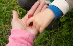 The child takes ripe raspberries from my mother`s hands, the concept of a happy family and care Royalty Free Stock Image