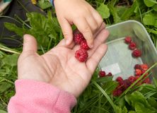 The child takes ripe raspberries from my mother`s hands, the concept of a happy family and care Stock Images