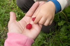 The child takes ripe raspberries from my mother`s hands, the concept of a happy family and care Stock Photos