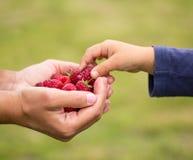 Child taking raspberry Stock Photos