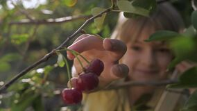 Child tears off ripe red cherry in fruit garden