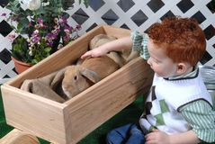Child touches pet bunny. Three year old red haired boy pets lop eared bunny Stock Images