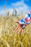 Child touching wheat ears in the boundless field Royalty Free Stock Image