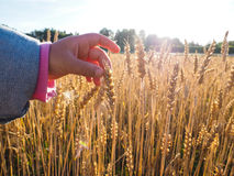 Child touching wheat grain on a field at close up Stock Photography