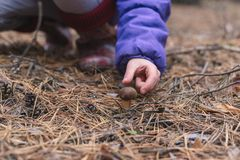 A child is trying to collect edible mushroom in the forest.  stock images