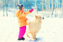 Child walking white Samoyed dog playing on snow winter day Royalty Free Stock Images