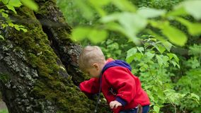 The child walking in autumn Park. A boy stands near a large tree covered with moss. A child walks in Park in autumn stock video footage