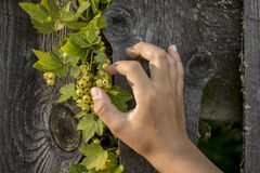 Child wants to disrupt his hand immature currants. Child hand wants to disrupt immature currants, a branch crawled out between the fence planks Stock Photography