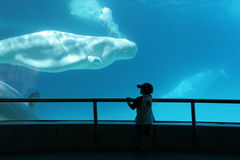 Child watching beluga whale blow bubbles royalty free stock images