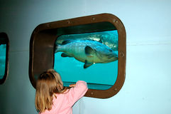 Child watching big fish. A little blond caucasian girl child watching big fish in an aquarium at oceanarium in Port Elizabeth, South Africa royalty free stock photo