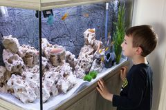 Child watching fish tank. Aquarium with cichlids stock image