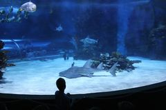 Child watching sea life at a marine aquarium. Tropicarium - a marine aquarium in Budapest royalty free stock photo
