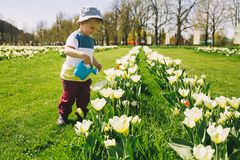 Child with watering can among tulips flowers on field royalty free stock images